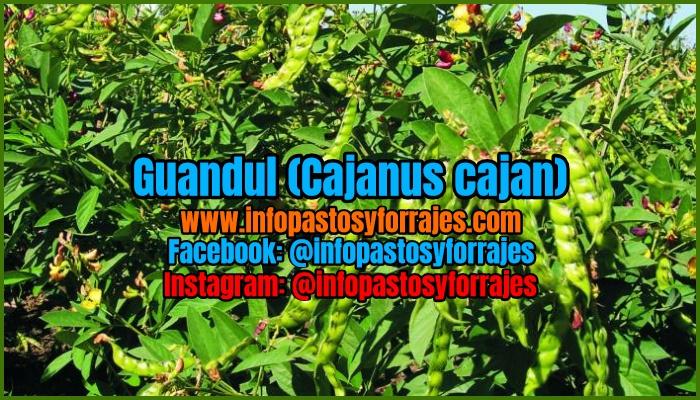 Leguminosa Arbustiva Guandul (Cajanus cajan)