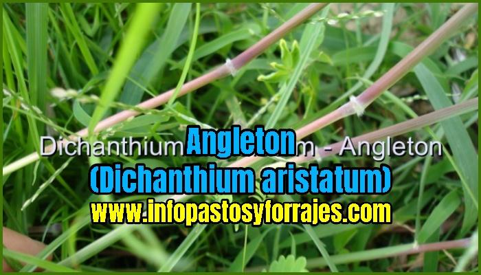 Pasto Angleton (Dichanthium aristatum)