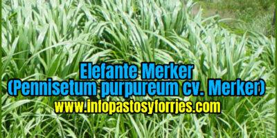 Pasto Elefante Merker (Pennisetum purpureum cv. Merker)