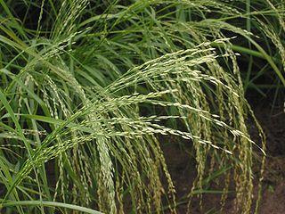 Producción de semillas del Pasto Guinea