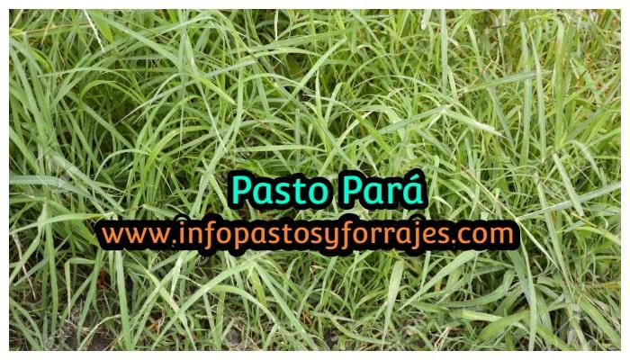 Pasto Pará