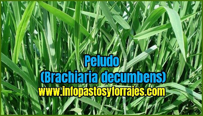 Pasto Peludo (Brachiaria decumbens)