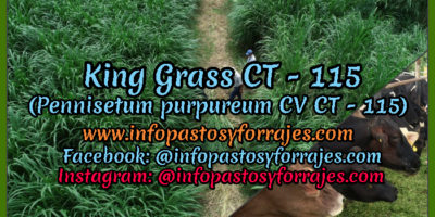 Pasto de Corte King Grass CT - 115 (Pennisetum purpureum CV CT - 115)