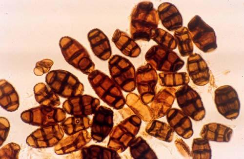 Phytomices chartarum, genera fotosensibilización al ser consumida por el animal.