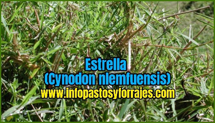 Pasto Estrella (cynodon nlemfuensis)