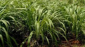 Pasto King Grass CT - 11