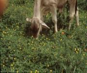 animales en pastoreo
