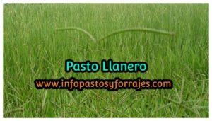 Pasto Llanero