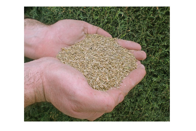 Semillas de lugar de origen del Pasto Guinea Mombasa