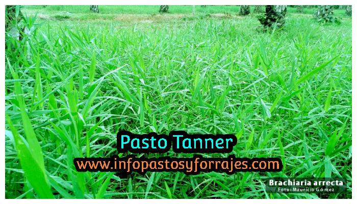 Pasto Tanner