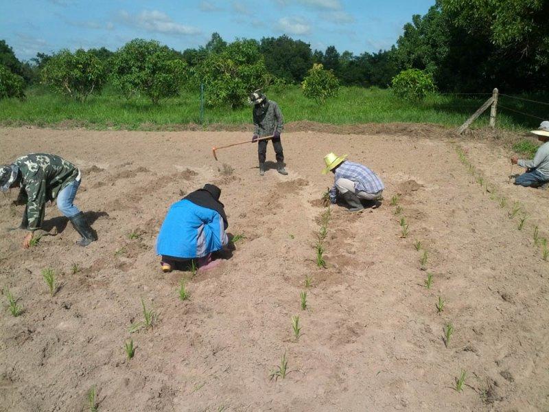 Establecimiento de Guinea Massai (Panicum maxicum cv. Massai)
