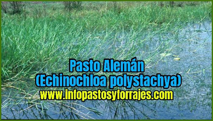 Pasto Alemán (Echinochloa polystachya)