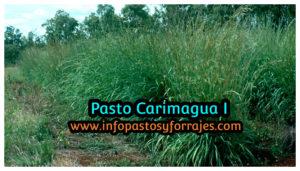 Pasto Carimagua I