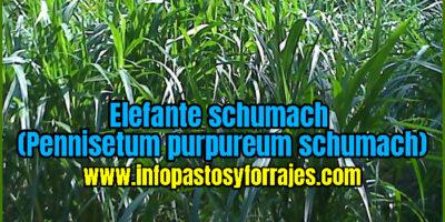 Pasto Elefante schumach (Pennisetum purpureum schumach)