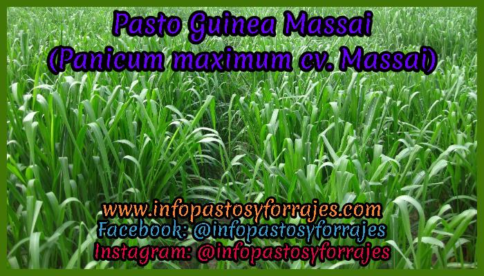 Pasto Guinea Massai (Panicum maximum cv. Massai)