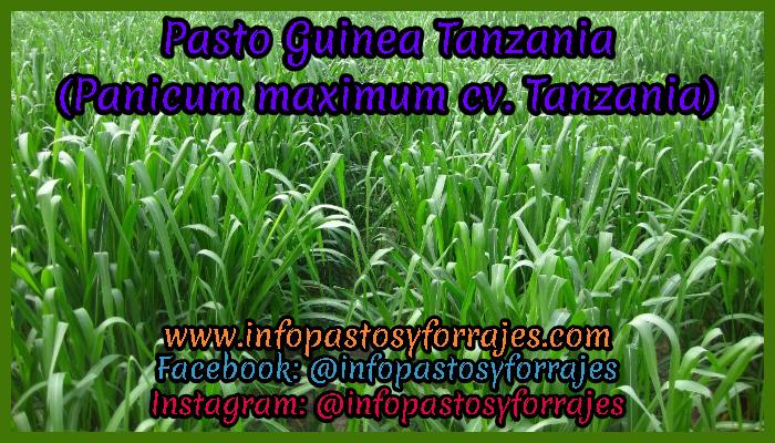 Pasto Guinea Tanzania (Panicum maximum cv. Tanzania)