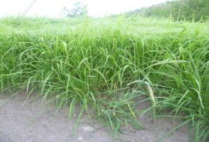 Guinea Massai (Panicum maxicum cv. Massai)