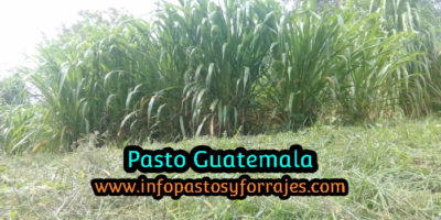 Pasto Guatemala
