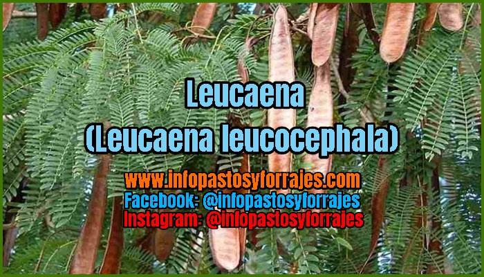 Árbol Forrajero Leucaena (Leucaena leucocephala)
