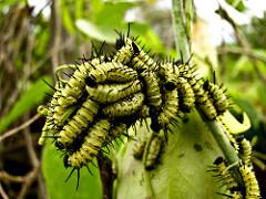 Larvas de lepidópteros