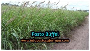 Pasto Búffel