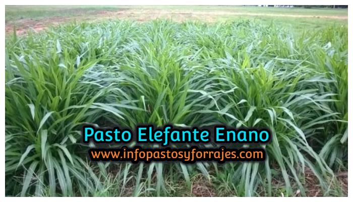 Pasto Elefante Enano