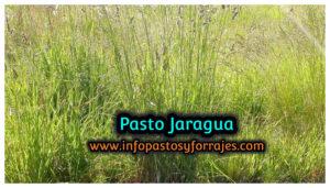 Pasto Jaragua