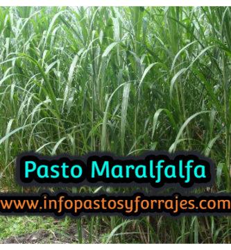 Pasto Maralfalfa