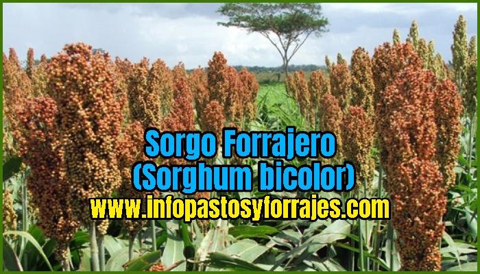 Sorgo Forrajero (Sorghum bicolor)