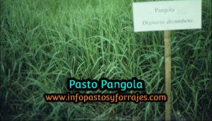 Pasto Pangola