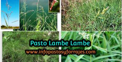 Pasto Lambe Lambe (Leersia hexandra)
