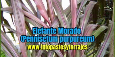 Pasto Elefante Morado (Pennisetum purpureum CV Camerún rojo)