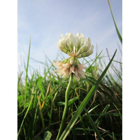 Trébol Blanco (Trifolium repens) en asocio con Kikuyo