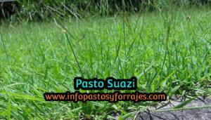 Pasto Suazi