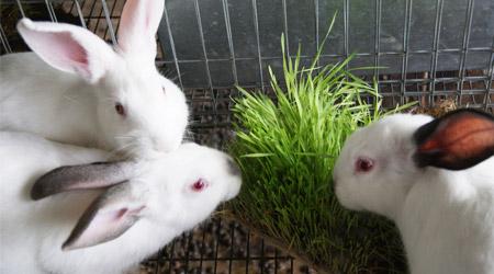 Consumo de F.V.H, Por Conejos