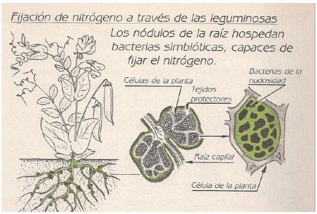 fijación de nitrógeno a través de las leguminosas