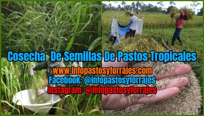 Cosecha De Semillas De Pastos Tropicales