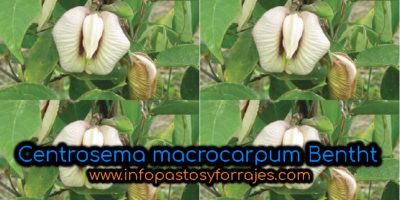 Leguminosa Centrosema macrocarpum Benth