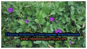 Leguminosa Clitoria brasiliana