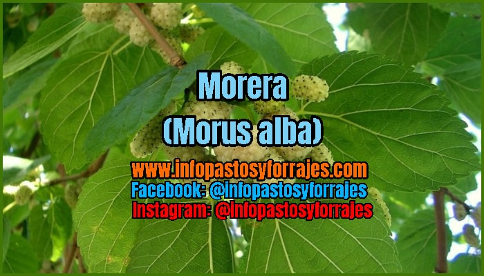 Árbol Forrajero Morera (Morus alba)
