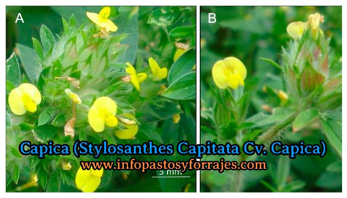 Leguminosa Capica