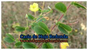 Leguminosa Casia de Hoja Redonda