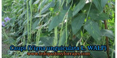 Leguminosa Caupí