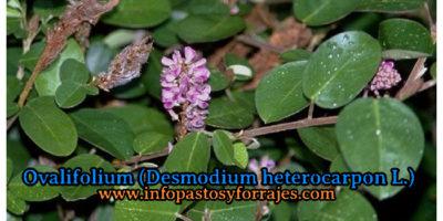 Leguminosa Ovalifolium