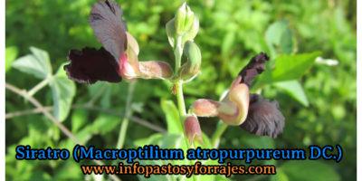 Leguminosa Siratro
