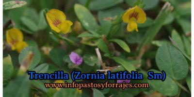 Leguminosa Trencilla