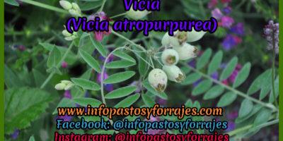 Leguminosa Vicia (Vicia atropurpurea)