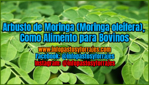 Legumenose Moringa arbusto (olease moringa), como alimento para bovinos