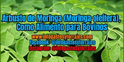 Leguminosa Arbustiva de Moringa (Moringa oleífera), Como Alimento para Bovinos