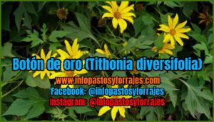 botão OURO BROBUSTIVE (Tithonia diversifolia)